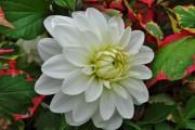 Фото 11 Георгины (65 фото): выращивание и уход за растением
