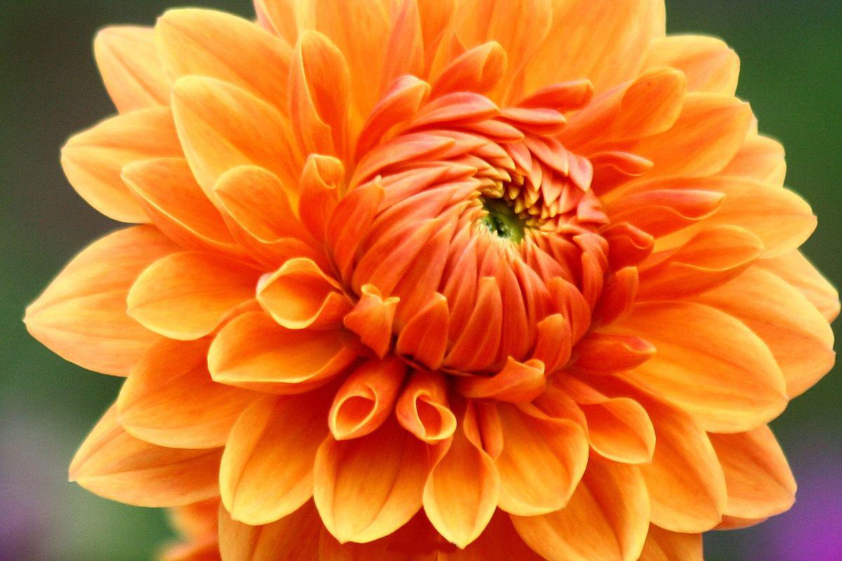Обои стебель, цветок, оранжевая, Георгина, цветы. Цветы foto 9
