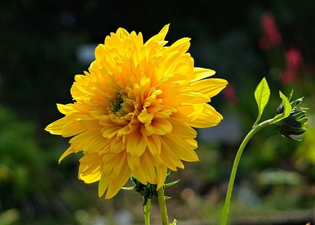 Георгины – очень красивые и неприхотливые цветы