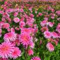 Георгины (65 фото): выращивание и уход за растением фото