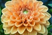 Фото 16 Георгины (65 фото): выращивание и уход за растением