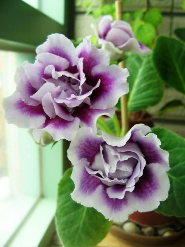 Махровая бело-фиолетовая глоксиния