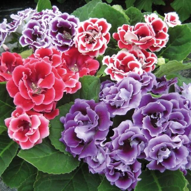 Глоксинию (Sinningia speciosa) обычно покупают летом, когда она цветет