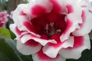 Фото 16 Глоксиния (52 фото): посадка, уход, размножение, виды растения