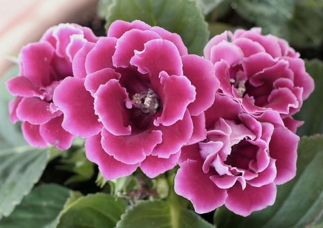 С наступлением лета растение необходимо беречь от попадания прямых солнечных лучей