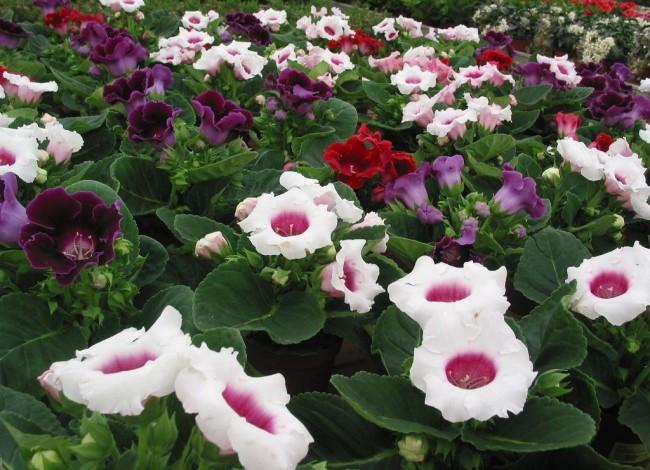 Для выращивания глоксинии рекомендуется в дневное время соблюдать температуру +22-25 градусов, в ночное время - не ниже +18 градусов