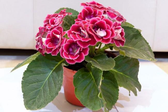 В магазинах часто продают цветущие растения глоксиний, а также их семена и клубни