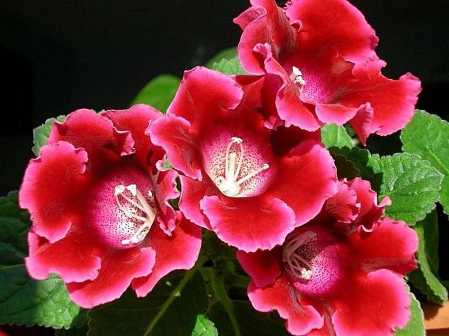 Ухаживайте за глоксинией и она всегда будет радовать вас пышным цветением