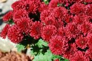 Фото 10 Хризантема садовая многолетняя: посадка и уход (77 фото)