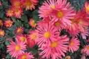 Фото 11 Хризантема садовая многолетняя: посадка и уход (77 фото)