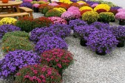 Фото 14 Хризантема садовая многолетняя: посадка и уход (77 фото)