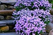 Фото 15 Хризантема садовая многолетняя: посадка и уход (77 фото)