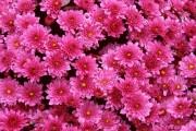 Фото 19 Хризантема садовая многолетняя: посадка и уход (77 фото)