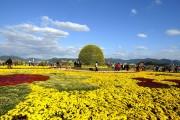 Фото 22 Хризантема садовая многолетняя: посадка и уход (77 фото)