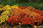 Фото 58 Хризантема садовая многолетняя: посадка и уход (77 фото)
