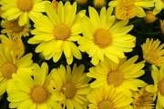 Фото 24 Хризантема садовая многолетняя: посадка и уход (77 фото)