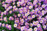 Фото 25 Хризантема садовая многолетняя: посадка и уход (77 фото)