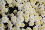 Фото 30 Хризантема садовая многолетняя: посадка и уход (77 фото)