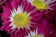 Фото 32 Хризантема садовая многолетняя: посадка и уход (77 фото)