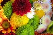 Фото 1 Хризантема садовая многолетняя: посадка и уход (77 фото)