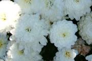 Фото 33 Хризантема садовая многолетняя: посадка и уход (77 фото)