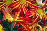 Фото 35 Хризантема садовая многолетняя: посадка и уход (77 фото)