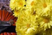 Фото 36 Хризантема садовая многолетняя: посадка и уход (77 фото)