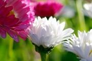 Фото 4 Хризантема садовая многолетняя: посадка и уход (77 фото)