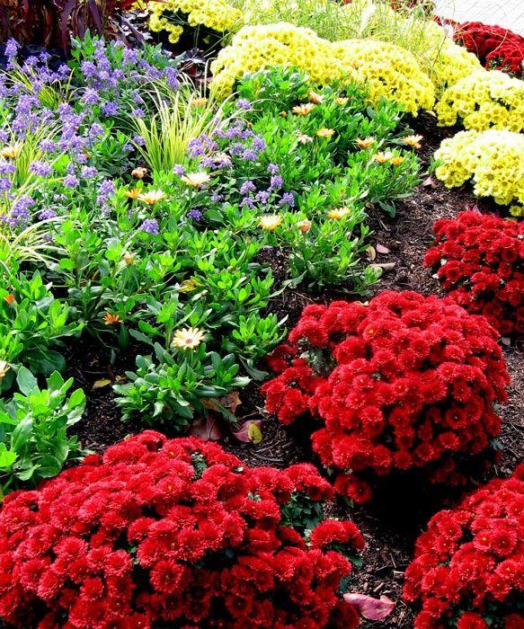 Хризантема садовая многолетняя: посадка и уход (77 фото)