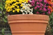 Фото 38 Хризантема садовая многолетняя: посадка и уход (77 фото)