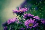 Фото 42 Хризантема садовая многолетняя: посадка и уход (77 фото)