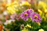 Фото 43 Хризантема садовая многолетняя: посадка и уход (77 фото)