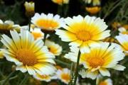 Фото 44 Хризантема садовая многолетняя: посадка и уход (77 фото)