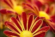 Фото 45 Хризантема садовая многолетняя: посадка и уход (77 фото)