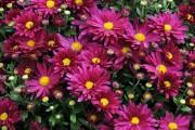 Фото 46 Хризантема садовая многолетняя: посадка и уход (77 фото)