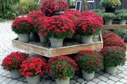 Фото 47 Хризантема садовая многолетняя: посадка и уход (77 фото)