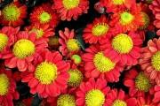 Фото 49 Хризантема садовая многолетняя: посадка и уход (77 фото)