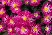 Фото 50 Хризантема садовая многолетняя: посадка и уход (77 фото)