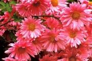 Фото 51 Хризантема садовая многолетняя: посадка и уход (77 фото)
