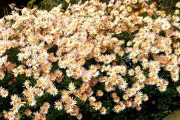 Фото 52 Хризантема садовая многолетняя: посадка и уход (77 фото)