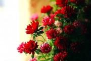 Фото 54 Хризантема садовая многолетняя: посадка и уход (77 фото)