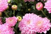 Фото 57 Хризантема садовая многолетняя: посадка и уход (77 фото)