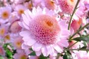 Фото 3 Хризантема садовая многолетняя: посадка и уход (77 фото)