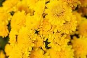 Фото 8 Хризантема садовая многолетняя: посадка и уход (77 фото)