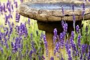 Фото 7 Лаванда (52 фото): посадка и уход за своенравным и красивым растением