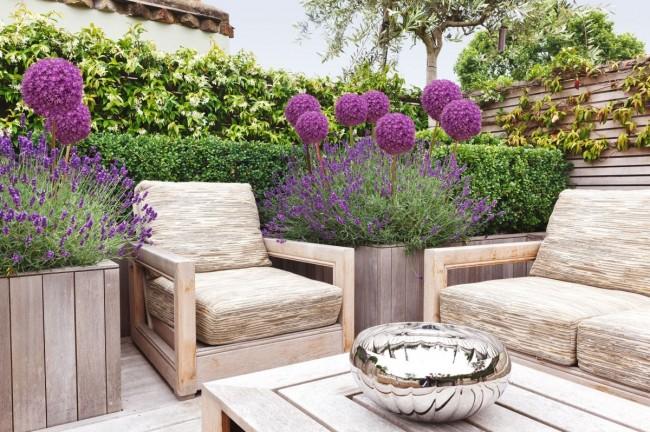 Лаванда является украшением садов во всем мире