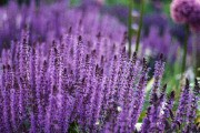 Фото 2 Лаванда (52 фото): посадка и уход за своенравным и красивым растением