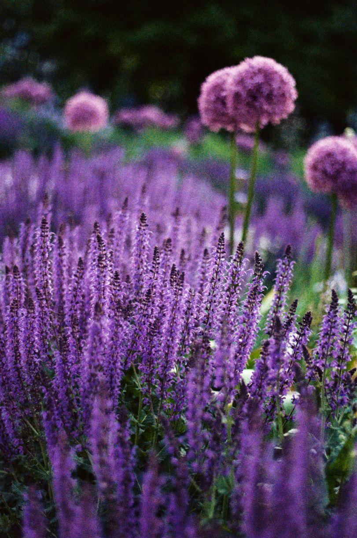 садовая лаванда