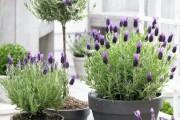 Фото 9 Лаванда (52 фото): посадка и уход за своенравным и красивым растением