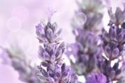 Фото 5 Лаванда (52 фото): посадка и уход за своенравным и красивым растением
